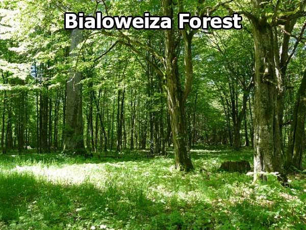 Bialoweiza Forest